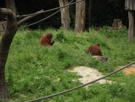 stock orang utan 01 by joshi-stock