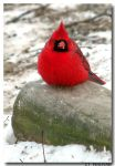 Red Cardinal v2 by CTP