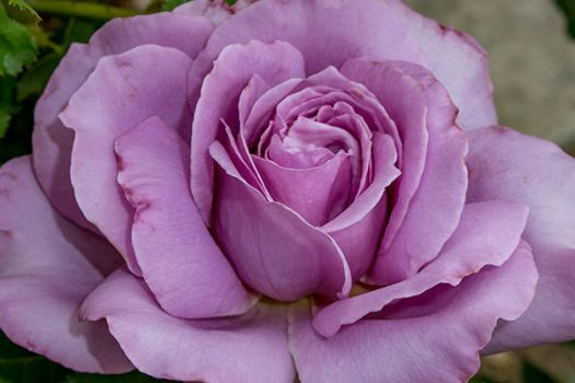 Love Song Rose by artisticimposter
