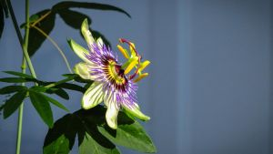 Passion Flower (Floarea pasiunii) by JJonesJr69