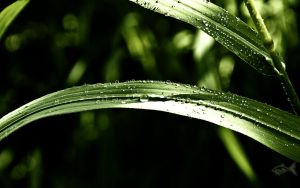 Grass and Drops Wallpaper by eyefish