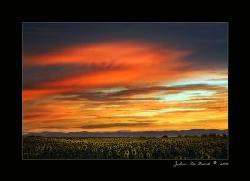 Sunflower Sunset by kkart