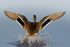 Duck Landing 3 by bovey-photo