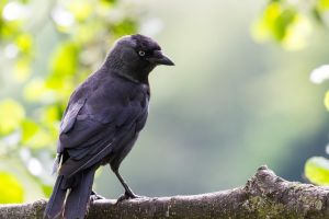 Jackdaw 1 by CyclicalCore