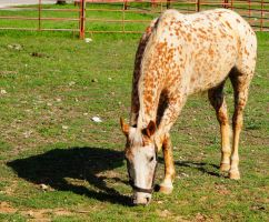 Brown Speckled Horse by AquaVixie