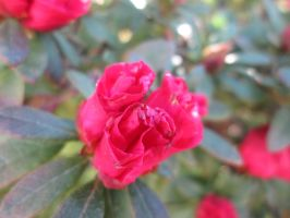 Rhododendron 3 by FuriarossaAndMimma