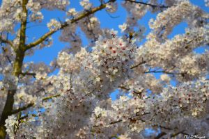 Close Up of Cherry Blossom by lfcmadness