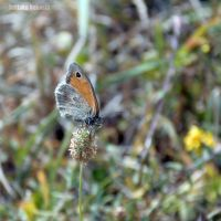 Small Heath by Takiako-Nakashi