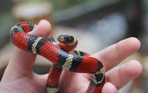 (Lampropeltis triangulum) Eastern Milk Snake 2 by SkyDarko