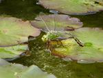 Dragonfly laying eggs. by vinny53