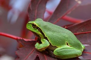 Green frog on red by SzandorDuBois