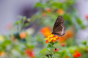Common Crow Butterfly by DrHamster
