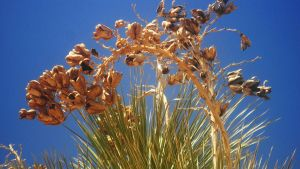 Golden Yucca by SharPhotography