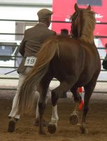 STOCK - 2014 Welsh QLD Show-54 by fillyrox