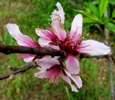 Texas Peach Bloom Industry Texas by spidermonkeykiss