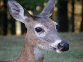 Deer 3 by redtailhawker