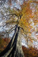 Minnowburn Tree from Below by Gerard1972