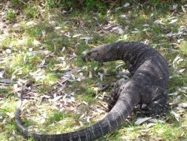 Goanna: Shake my tail back and forth by evilfuzzle2
