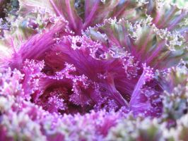 Ornamental Cabbage by Artsee1