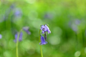 bluebells at Richmond North Yorks by Breezypants