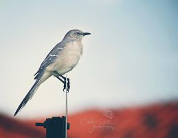 Mockingbird by CandiceSmithPhoto
