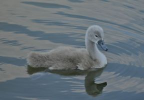 The not so ugly duckling by CKPhotos