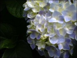 Hydrangea by laura-worldwide