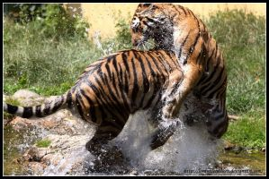 Tiger tackle by AF--Photography