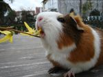 Fritzi 1 (guinea pig) by Leny97