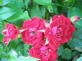 Stubborn Roses by RD-Stock