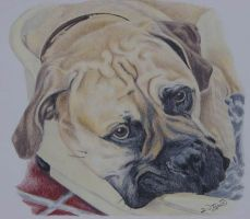 Abb, Bullmastiff 9 months old. by RTyson