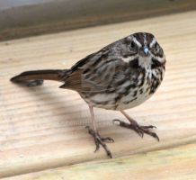 Song Sparrow by IdolRebel