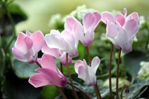 Cyclamen by CASPER1830