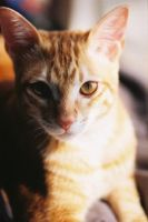 My Cat Ginger 7 by angela-wong