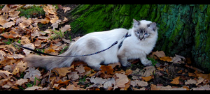 Cat on the leash by Valvador