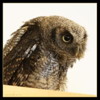 Little Owl 4 by Globaludodesign