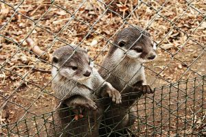 Otter pair by Salumet
