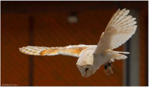 Barn Owl Display III by andy-j-s