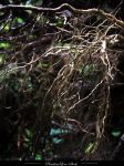 Roots 04 by AnitaJoy-Stock