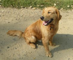 Golden retriever: stock by Lythre-does-photos