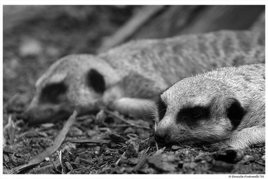 Meerkat Mirror by TVD-Photography