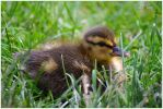 Baby Duck by timelesscolors