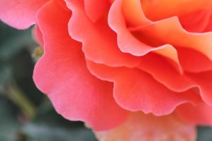 00093 - Peach Rose Petals by emstock