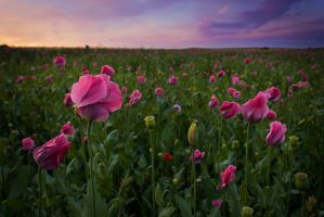 poppy field at sunset 2 by artmobe