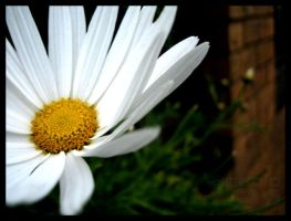 Daisyness by paolo91