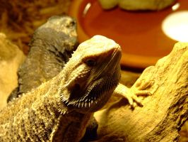 Bearded Dragon by PrimalOrB