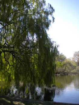 Weeping Willow by Jurv