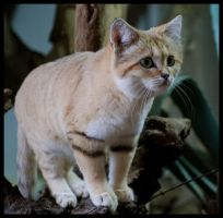 curious sand cat by morho