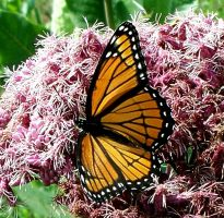 Monarch Butterfly 2 by Penny-Stock