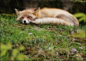 Sleeping Fox by Awiis